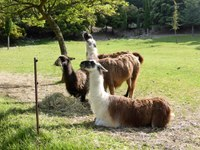 Le Barroux, i lama in un momento di relax