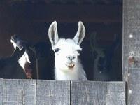 Le Barroux, lama nella stalla