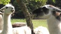 Le Barroux, quattro chiacchiere tra i lama