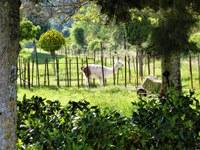Le Barroux, un lama al rientro dal pascolo