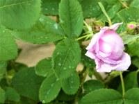 500 specie di rose nei giardini di Valsaintes.JPG