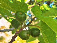 I frutti dei giardini di Valsaintes