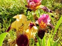 Iris nei giardini di Valsaintes