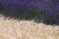 Spighe di grano e fiori di lavanda nei pressi di Valensole © Gianni Ottonello