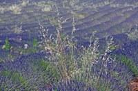 Steli tra i fiori di lavanda a Valensole © Gianni Ottonello