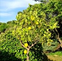 Hotel Canto Cigalo - Alberi di agrumi nel giardino