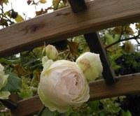 Domaine de l'Aufrêne, le rose bianche