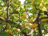 Le Barroux, Mas de la Lause, albero di limoni