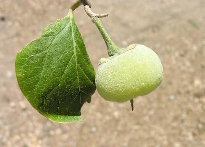 Aliboufier, frutto