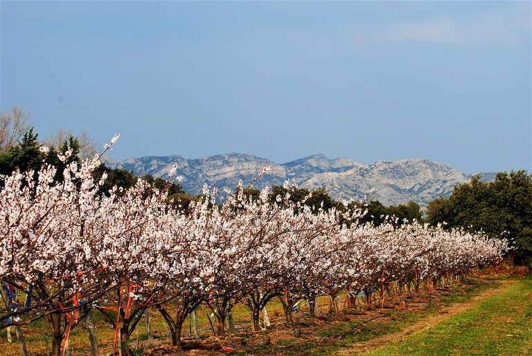 Alpilles, ciliegi in fiore © Silvia C. Turrin