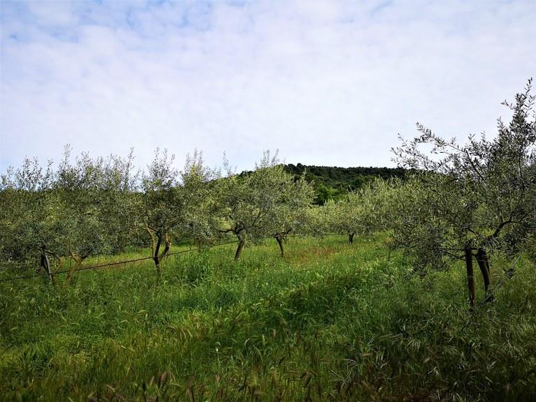 Bastide du Laval, la coltivazione biologica degli ulivi