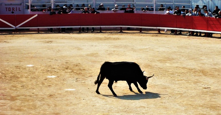 Camargue, il toro al centro dell'arena