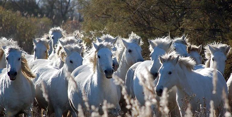 Cavalli allo stato brado in Camargue