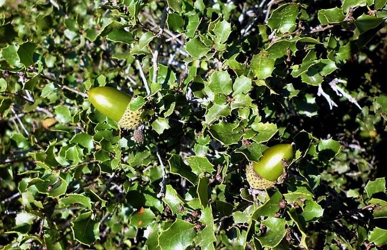 Cespuglio di quercia spinosa
