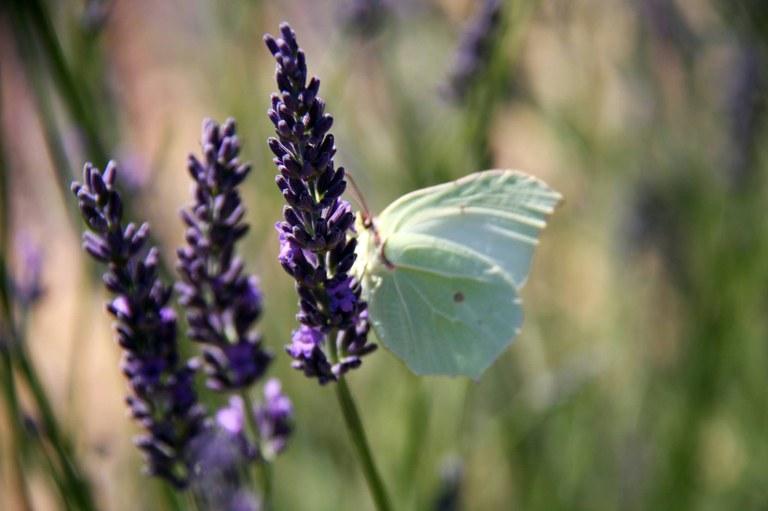 Farfalla tra la lavanda in fiore © Gianni Ottonello