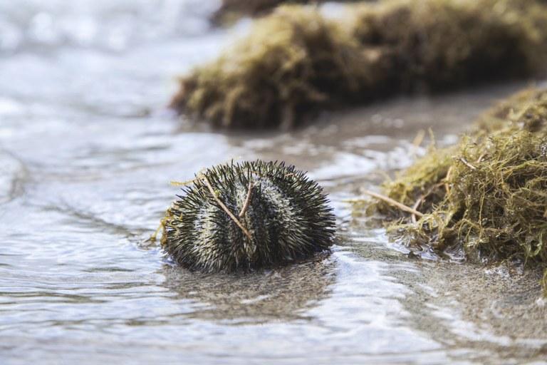 Fauna marina del Mediterraneo, il riccio