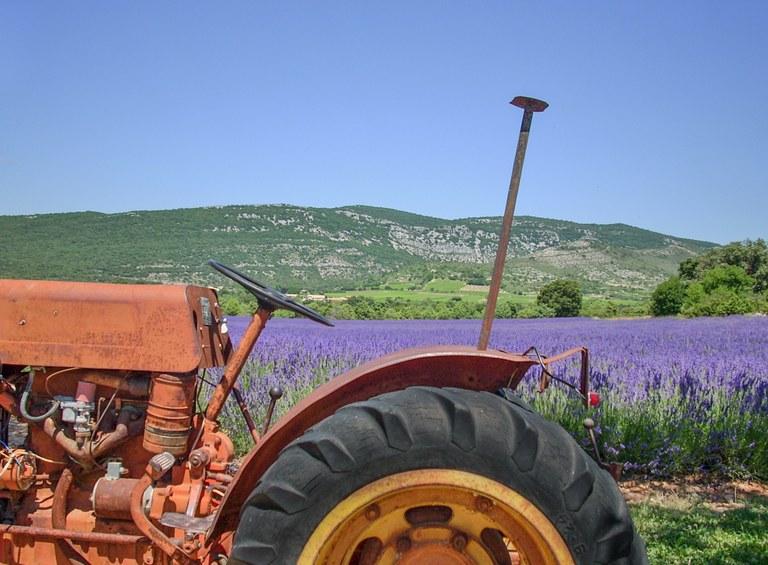Grazie alle aziende agricole la lavanda si diffonde anche in Italia