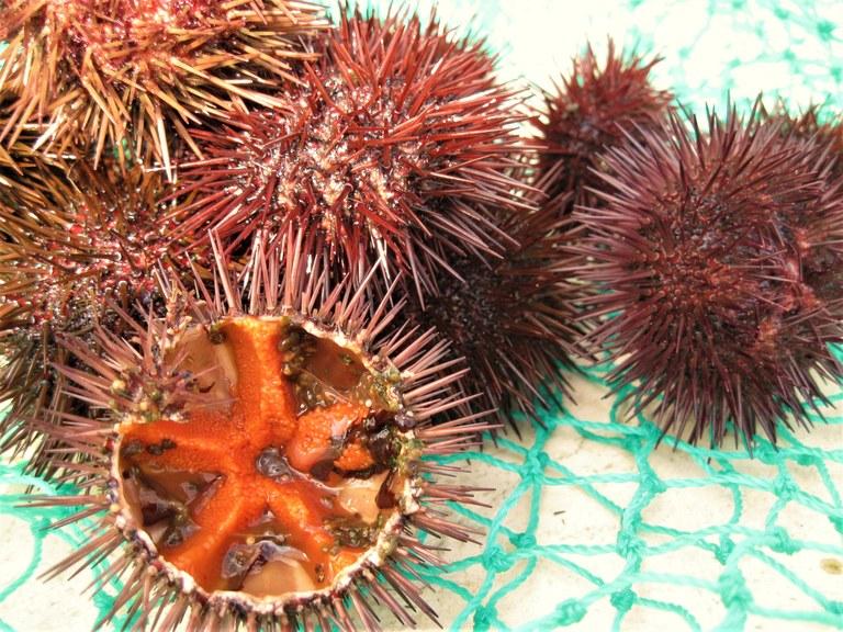 La polpa color corallo dei ricci di mare