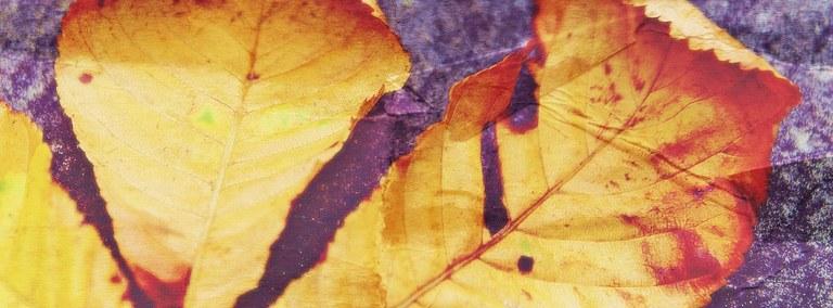 La foglia di castagno bruno è usata per avvolgere il banon