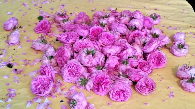 Le rose centifolie colte per essere essicate