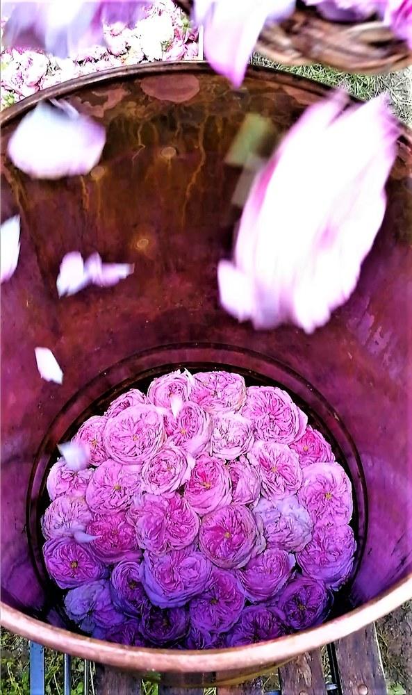 Le rose nell'alambicco per la distillazione.