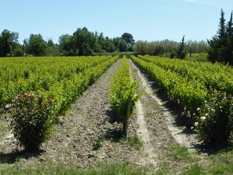Mas de Valériole - I filari delle viti