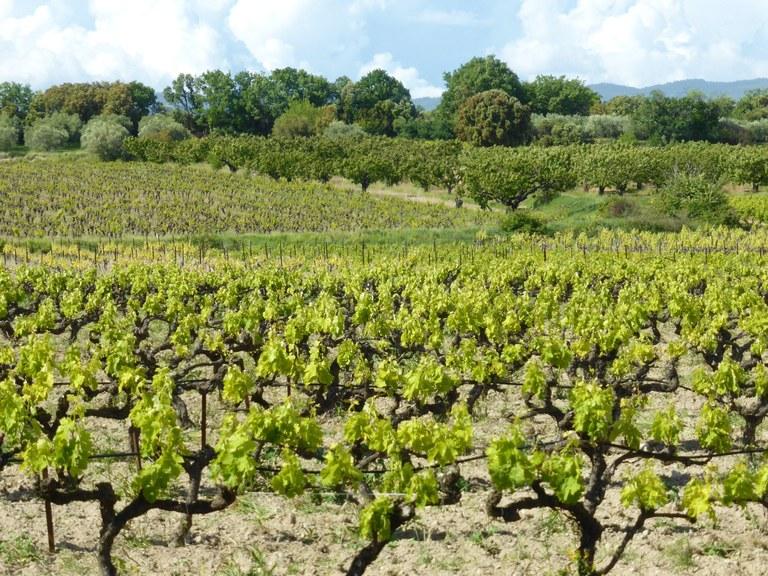 Mazan, Plein Pagnier, le vigne