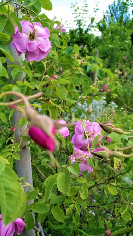 Nel giardino di Roseline, particolare