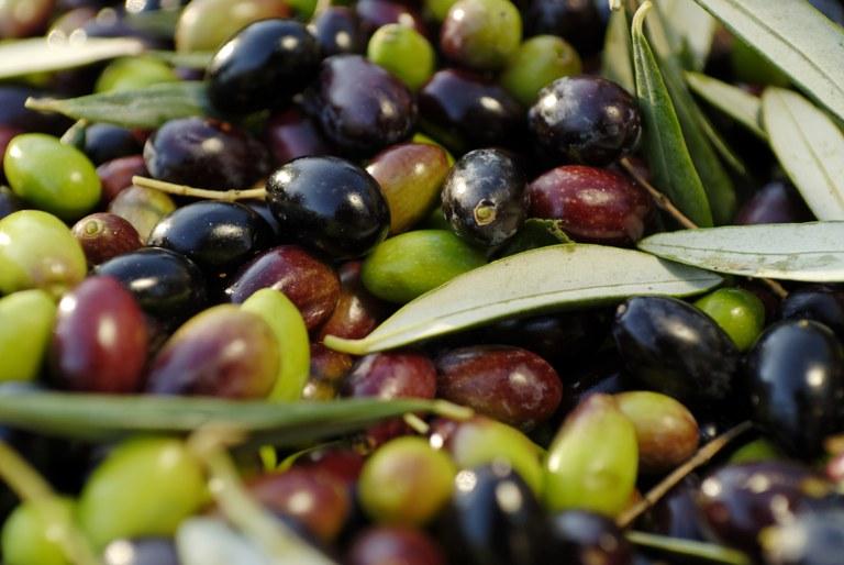 Olive - Foto:  © Antoine e Marta Konopka, OT Grasse 1