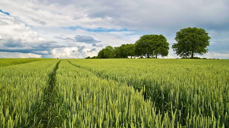 Se il grano germoglia bene, il raccolto sarà abbondante