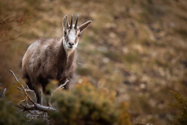 Serre Chevalier Vallée Briançon, incontri ravvicinati con la fauna locale © Zoom